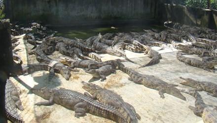 Về nơi nhà nhà nuôi cá sấu như... nuôi lợn