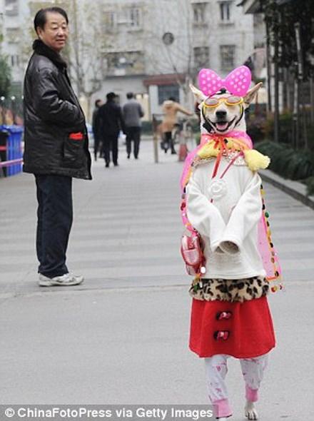 Xiaoniu luôn nhận được rất nhiều sự quan tâm mỗi khi xuất hiện trên đường. Nguồn: Getty