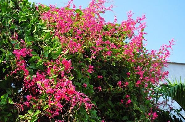 Những giống cây hoa thích hợp để làm giàn leo trước nhà 4