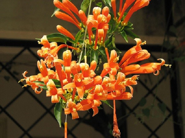 Những giống cây hoa thích hợp để làm giàn leo trước nhà 5