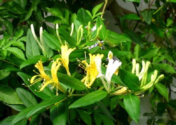 Những giống cây hoa thích hợp để làm giàn leo trước nhà 6