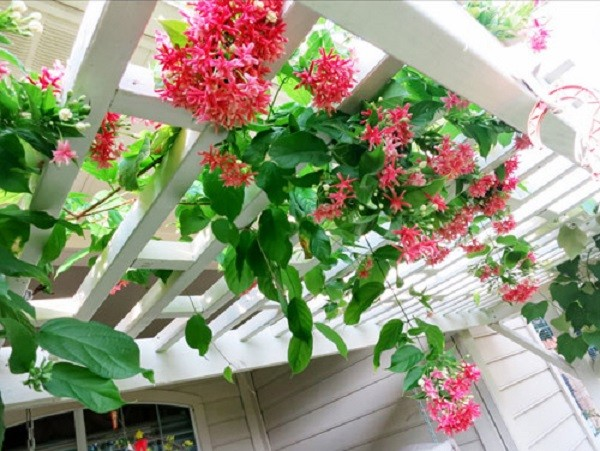 Những giống cây hoa thích hợp để làm giàn leo trước nhà 8