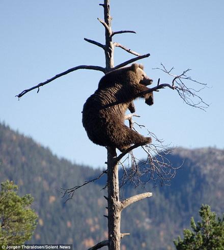 Chú gấu nâu 4 tuổi đã leo lên gần đỉnh của cái cây để ngủ một giấc ngon lành cũng như ngắm khung cảnh xung quanh.