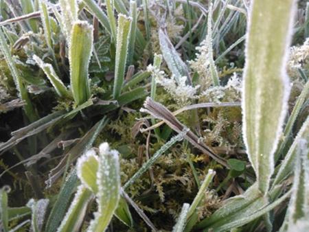 Sương muối bao bọc lên cây cối trong thời tiết giá rét ở Sapa.
