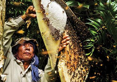 Một người thợ đang lấy mật ong rừng
