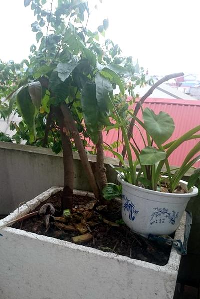 cây ăn quả, trồng cây, sân thượng, tầng cao, Hà Nội, quả sạch, bóng mát, trồng rau, cây-ăn-quả, trồng-cây, sân-thượng, tầng-cao, Hà-Nội, quả-sạch, bóng-mát, rau-sạch,