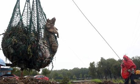 Hơn 1000 con lợn chết bị thả trôi trên sông Hoàng Phố năm 2013