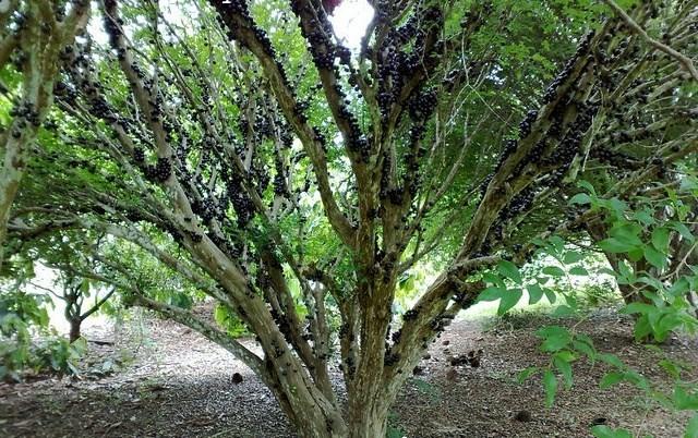 Hình ảnh quả nho đen láy, trái to bóng, thơm ngọt mọc xum xuê dọc thân cây, gốc to xù xì khiến cho người ta liên tưởng đến sự sung túc, sinh sôi trong cuộc sống.