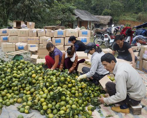 Thu hái cam ở xã Phù Lưu, huyện Hàm Yên.