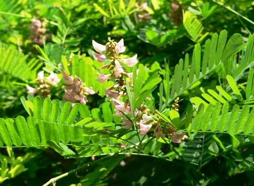 Cam thảo – một vị dược liệu trong bài thuốc trị chướng bụng đầy hơi.