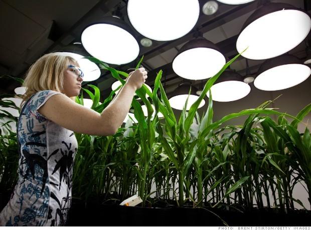 Một nhà sinh học của hãng MON đang lấy mẫu mô từ cây ngô biến đổi gen