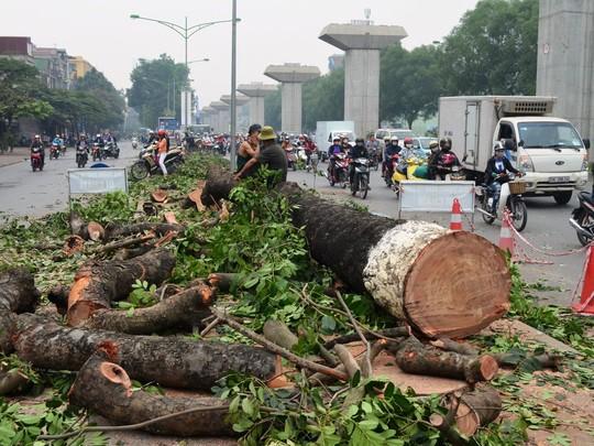 Trước đó, hàng loạt cây xà cừ trên tuyến đường Nguyễn Trãi đã bị đốn hạ
