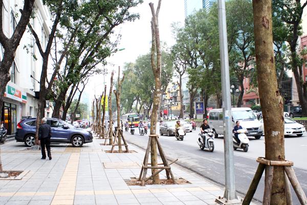 Hàng cây mới trồng thay thế trên phố Giảng Võ.