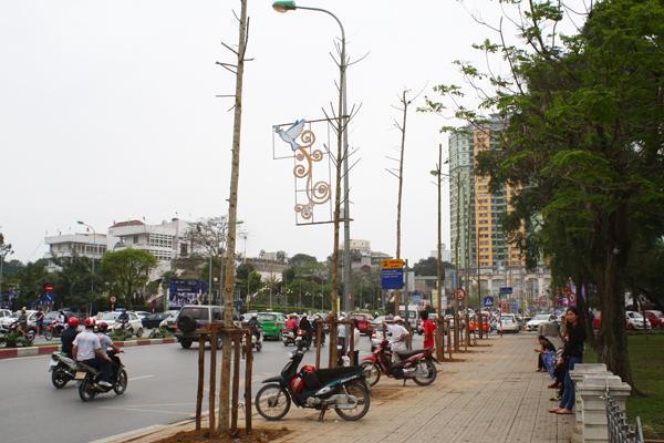 Hàng loạt cây xanh lâu năm trên đường Nguyễn Chí Thanh bị chặt hạ và thay thế.