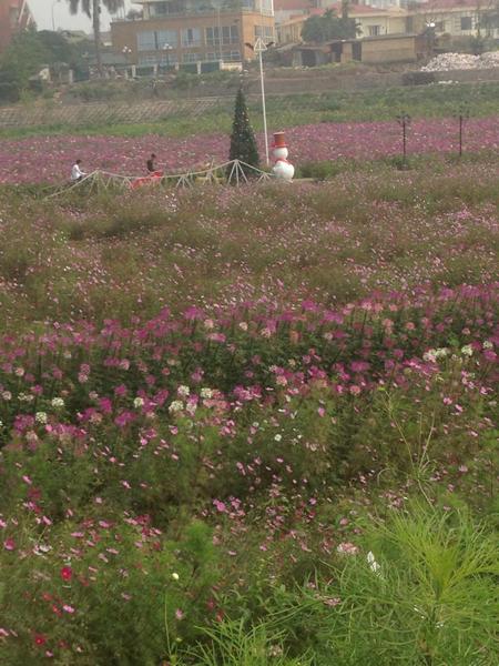 Thung lũng hoa Hồ Tây ngập tràn hoa khoe muôn màu sắc.