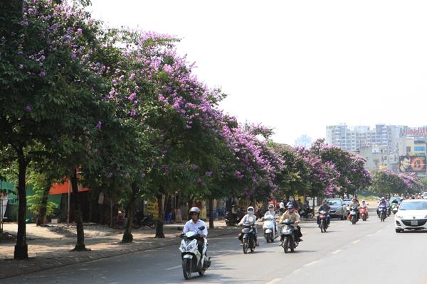 bằng lăng, Ấn Độ