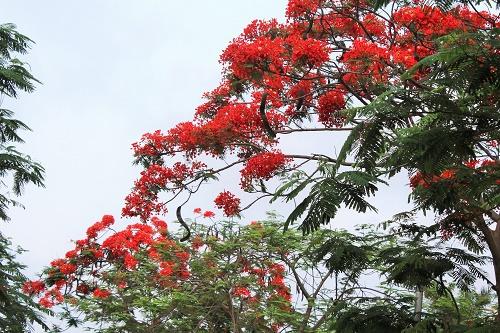 Khu vực hồ An Biên, hoa phượng nở khắp công viên