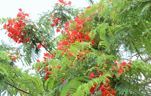 Màu hoa này đã trở thành tên gọi của  thành phố Cảng- thành phố Hoa phượng đỏ