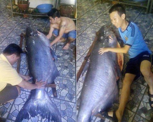 Con cá này nặng 140kg và dài gần 2m.
