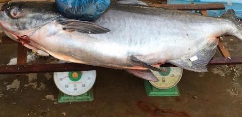 Cá khi vừa cập cảng ở An Giang, phải dùng 2 chiếc cân loại 1kg để cân. (Ảnh: Nhà hàng cung cấp)