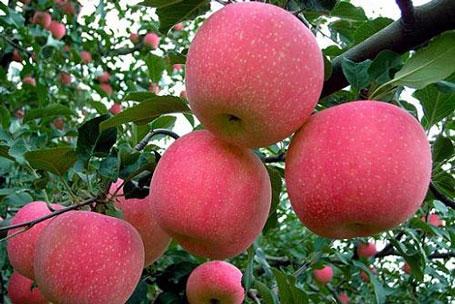 Những quả táo trông rất thơm ngon, căng mọng nhưng có thể khiến người tiêu dùng bị bệnh.