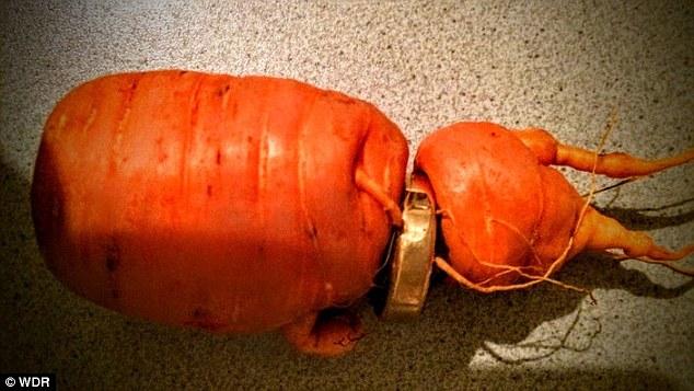 Ông lão tìm thấy chiếc nhẫn lồng vào một củ cà rốt.