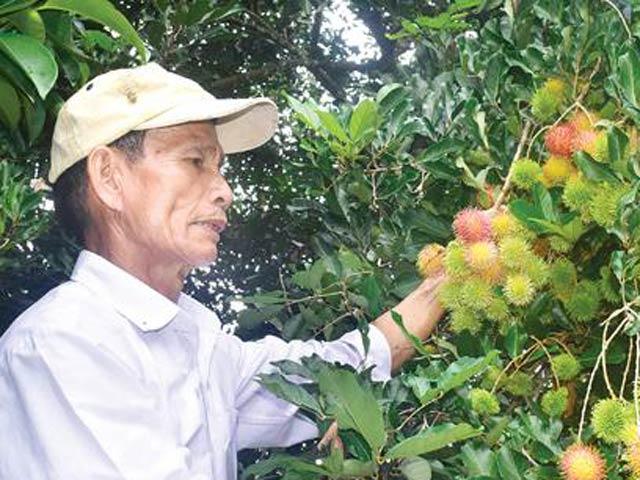Hằng ngày ông Phạm Đạt vẫn tự tay chăm sóc cho vườn cây ăn trái của mình.