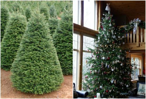 Mùa Giáng sinh năm nay lần đầu tiên có cây thông thật nhập khẩu phục vụ thị trường.