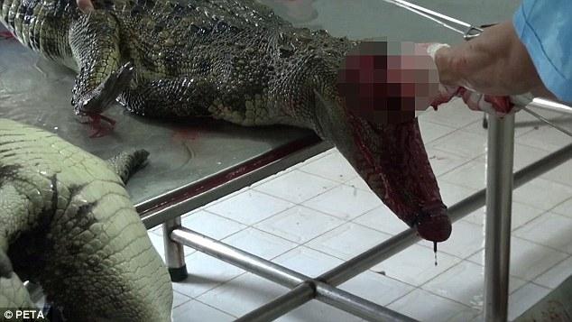 Cảnh tượng kinh hoàng khi những chú cá sấu bị bắt về hóa kiếp khiến ai trông thấy cũng phải rùng mình.