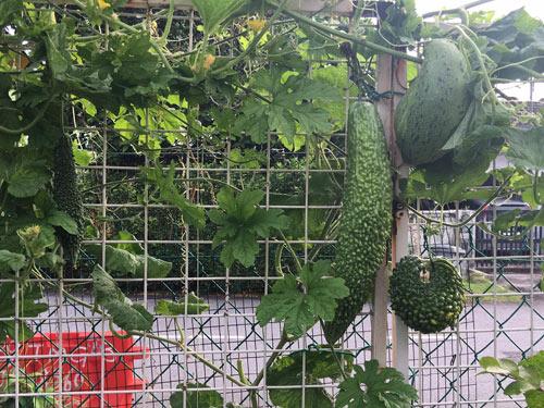 Không cần chăm chút quá cầu kỳ, các loại cây trong vườn nhà chị Ly vẫn ra trái sai lúc lỉu