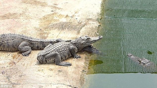 Một chú cá sấu bị cụt đuôi nhưng vẫn được nuôi trong trang trại.