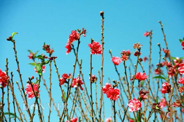 Không khác gì chủ những vườn quất, chủ những vườn đào cũng đang ngán ngẩm trước cảnh các gốc đào chuẩn bị cho Tết đang rơi vào cảnh hoa nở sớm.