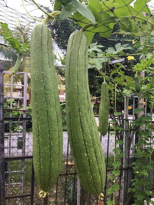 Vì rất thích ăn mướp nên chị đưa bằng được giống cây này sang Malaysia gieo trồng