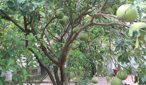 Cây ăn quả trĩu trịt trong vườn