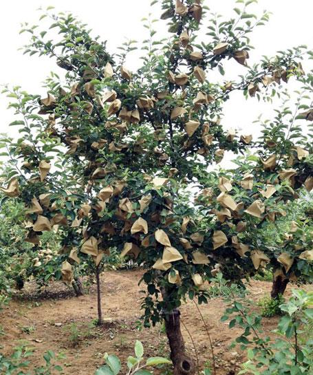 Trái cây được bọc trong túi này trong thời gian phát triển.