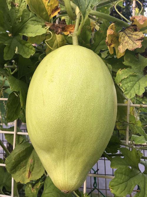 Cây trái trong vườn nhà chị Ly to lông lốc