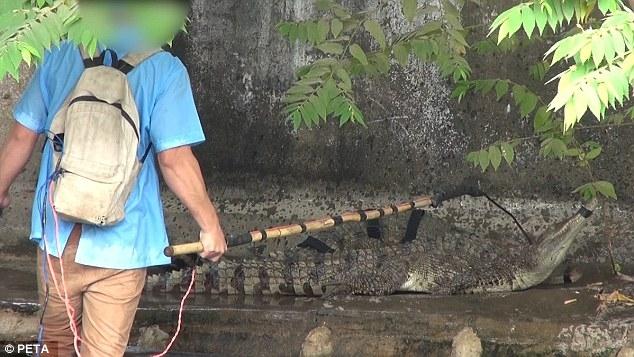 Con cá sấu này đã tới số khi bị nhân viên rọ mõm, chuẩn bị bắt về làm thịt.