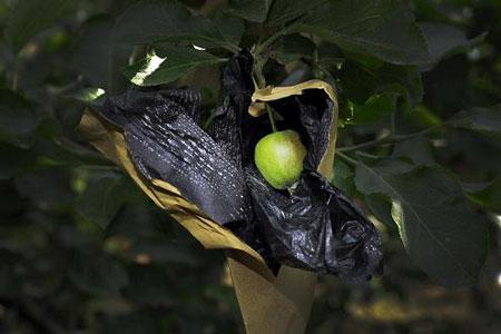 Những trái táo lúc còn non đã được bọc bởi một loại túi tẩm thuốc trừ sâu loại cấm sử dụng khi chín sẽ cho trái láng mượt, căng hồng và không bị nấm mốc.
