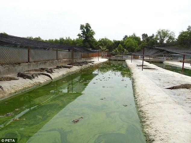 Những chú cá sấu may mắn hơn thì được thả nuôi ở những khu đất cằn cỗi và những rạch nước bẩn thỉu, hôi hám thế này đây.