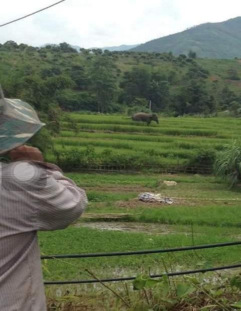 ' Voi đi qua ruộng lúa của bà con bản Nà Lìu. Ảnh: Sonla24h '