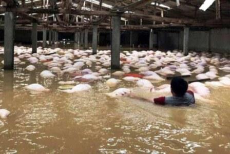 Trang trại bị ngập sâu trong nước khiến gần 4000con lợn chết nổi trắng xóa