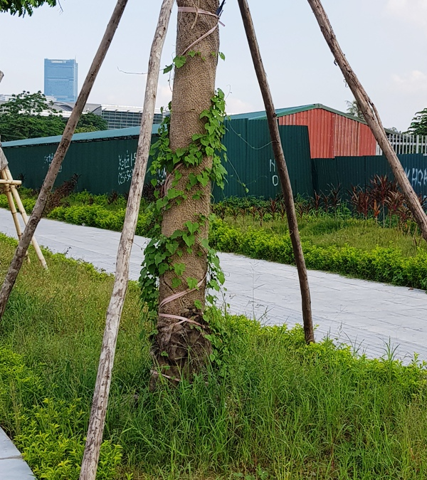 Thân cây khô héo, là giàn leo tốt cho các loại cỏ dại