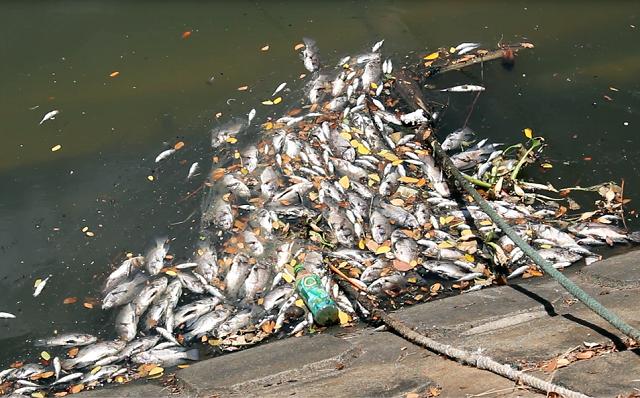 Theo người dân sinh sống hai bên kênh Phú Lộc, tình trạng cá chết rải rác đã xuất hiện được vài hôm, tuy nhiên sáng 21/8, thì cá bất ngờ nổi hàng loạt, dạt vào hai bên bờ, bốc mùi hôi tanh nồng nặc.