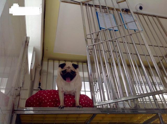 Phòng riêng dành cho những chú chó pug ở khách sạn