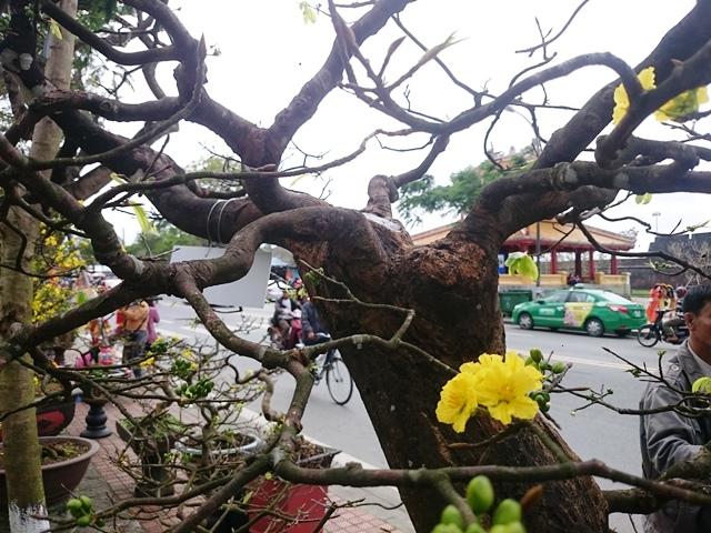 Hoàng mai là loài hoa chỉ có 5 cánh. Khác với mai ở địa phương khác, mai Huế hay hoàng mai có lá xanh, cánh dày. Cánh hoa hoàng mai có màu vàng tươi rực rỡ.
