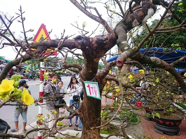 Lạc giữ rừng hoa với muôn dáng vẻ, một cây hoàng mai hiếm có với tuổi đời trên một trăm năm tuổi được rao bán 1 tỷ đồng tại chợ Hoa xuân Huế thu hút sự chú ý của mọi người.