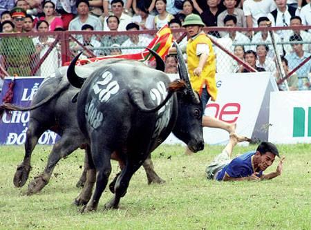 Một kháp đấu hấp dẫn tại lễ hội chọi trâu Đồ Sơn Ảnh: Trần Lưu