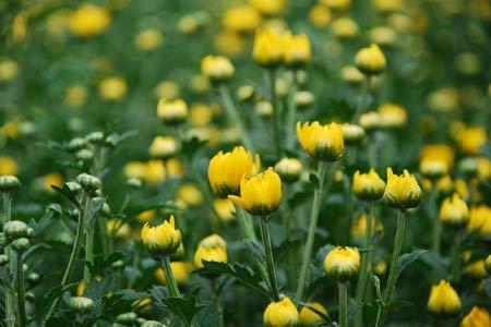 Hoa cúc là loại hoa được sử dụng nhiều trong tâm linh ở các nơi thờ cúng và cả ở nơi âm phần. Ảnh minh họa: TL