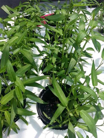 """Vườn nhà """"Vàng Anh"""" được xây dựng theo mô hình xanh sạch, rau được trồng theo phương pháp thủy canh đang được ưa chuộng hiện nay."""