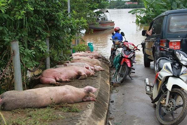 Rất nhiều gia súc, gia cầm bị chết